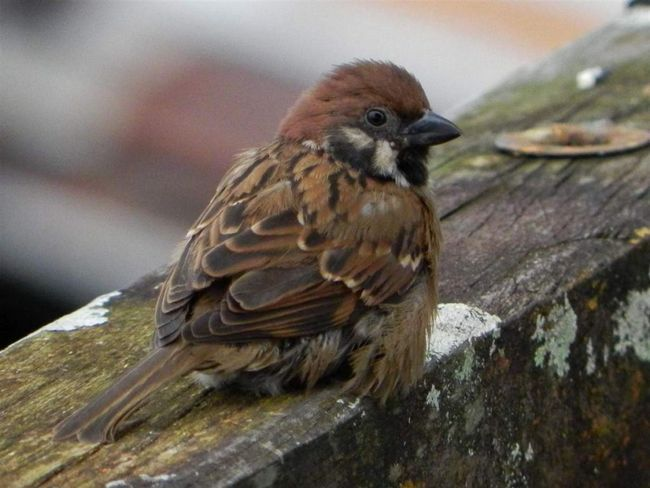 У віці 15-20 днів підросли і оперилися пташенята набувають здатність літати.