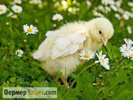 Корисні поради по вирощуванню бройлерних курчат