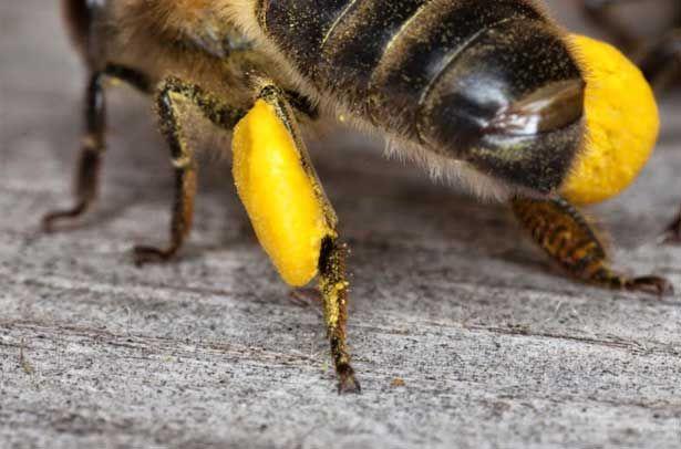 Пилок на бджолиних ніжках (обніжжя)