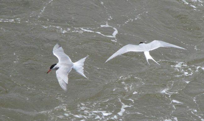 Полярні крячки - птиці північних морів.