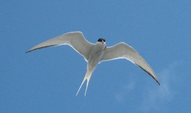 Крячок - птах середніх розмірів.