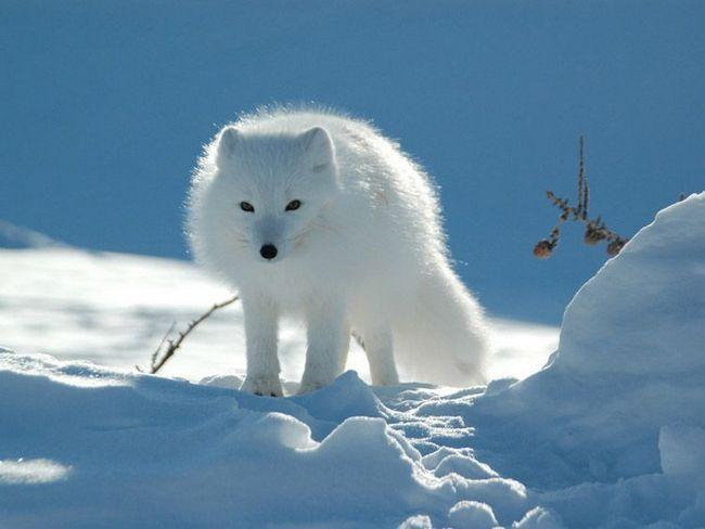 Полярний песець білої форми в зимовому хутрі. Бела шерсть - ідеальне маскування на тлі снігу.