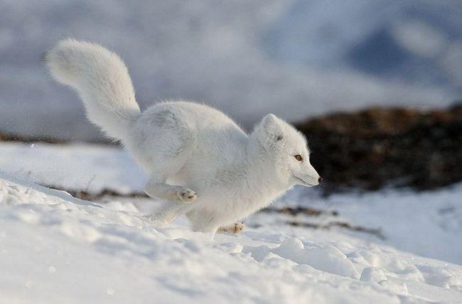 У разі небезпеки песець швидко бігає - лапи-снігоступи не дозволяють йому провалюватися в снігу