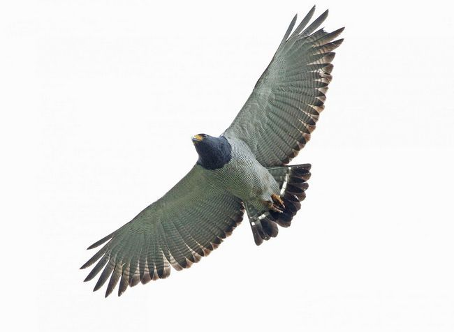 Хижий птах смугастий рябий канюк в польоті