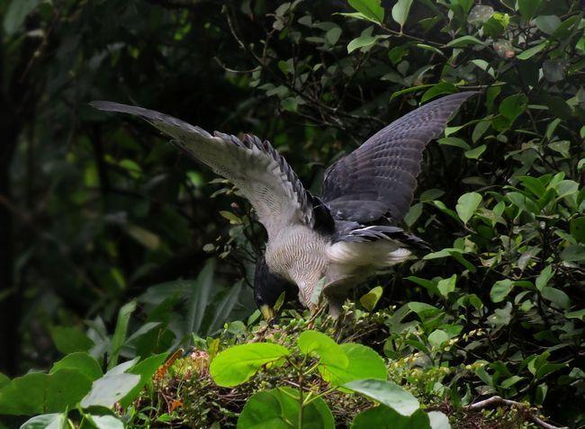 Смугастий рябий канюк полює під пологом гірських лісів
