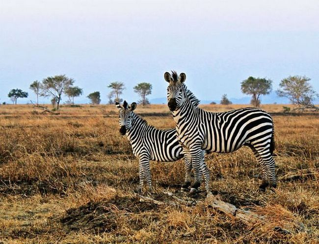 Смужки захищають зебр від настирливих мух