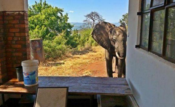 У Зімбабве браконьєри поранили слона.