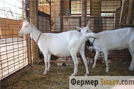 Приміщення для утримання кіз, побудоване своїми руками