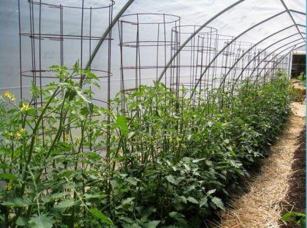 помідори в теплиці з полікарбонату посадка і догляд