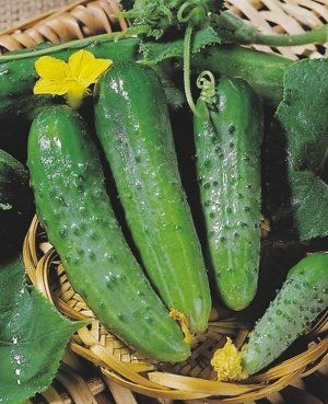 «Зозуля» - дуже врожайний сорт