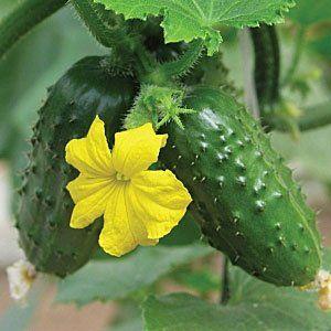 Плоди сорту «Весна» - корнішони