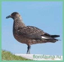 Поморніксредній / stercorarius pomarinus