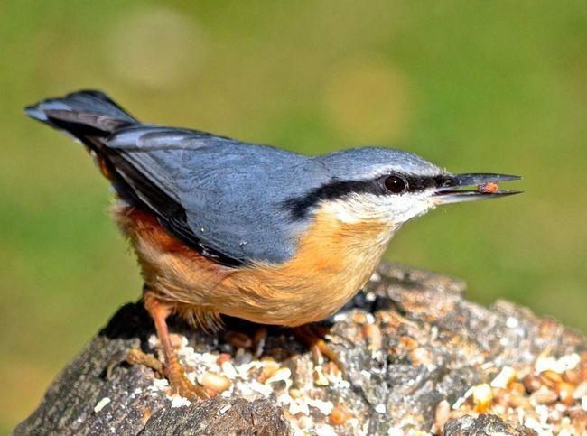 Пташка ямщик мешкає в парках і садах.
