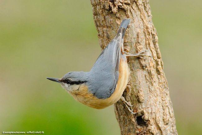 Назва птах отримала за вміння, ніби, повзти по стовбуру. Насправді - поползень швидко скаче, іноді навіть вниз головою.