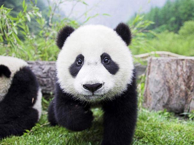 Популяція великих панд у Китаї відновлюється.