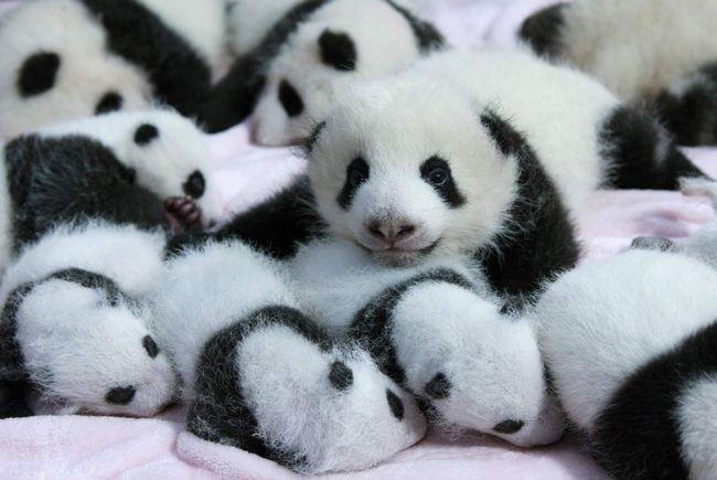 Чисельність великих панд на території Китаю досягла майже 2000 особин.