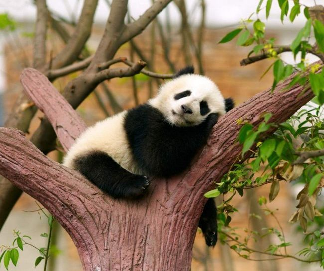 Великий панда відпочиває в лісі.
