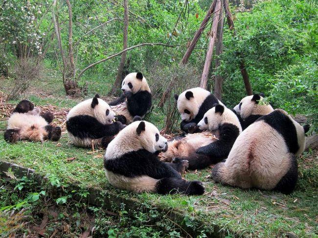 Сьогодні панди проживають на території кількох провінцій Китаю.