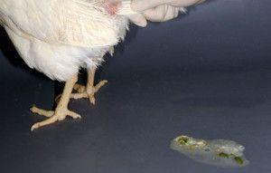 Фото посліду курчати зеленого кольору