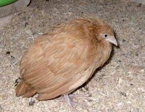 Курка, яка хворіє кокцидіозом
