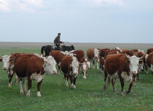 kazahskaja belogolovaja poroda