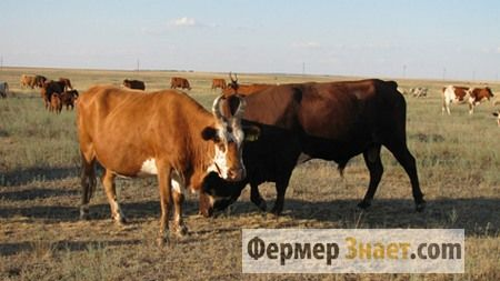 Корова і бик кальмицкой породи
