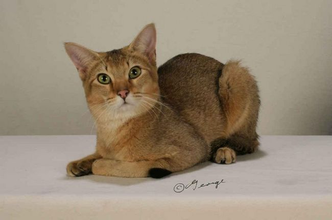 Порода кішок чаузі (chausie)