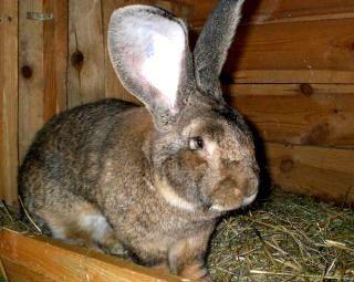 Порода кроликів фландр