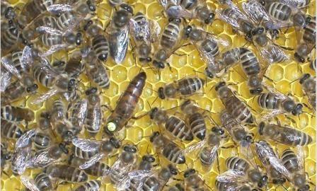 Порода бджіл Карінка