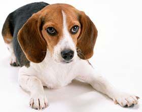 Порода собак бігль: характеристика породи і поради господареві.