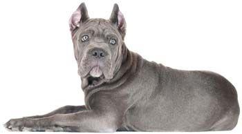 Порода собак кане корсо: опис характеру і поради починаючому собаківникові.