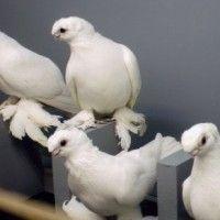 Породи білих голубів