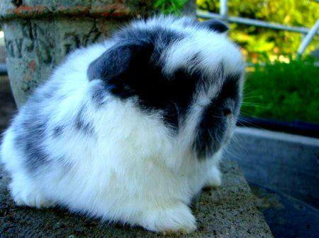 кролик Холланд лопа