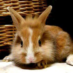 карликовий голландський кролик