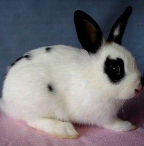 карликовий короткошерстий кролик