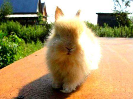 карликовий лисячий кролик або кролик-лисиця