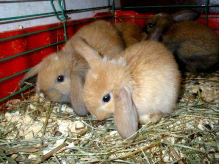 карликовий кролик-баран