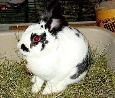 карликовий кролик-русак