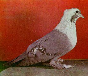 Воронежские белозобние голуби