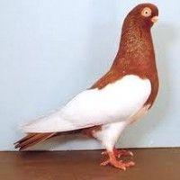 Породи голубів фото
