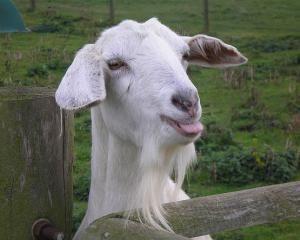 Породи кіз