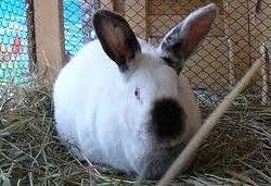 Породи кролів відео фото опис