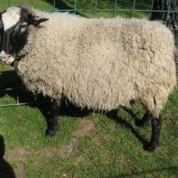 Романовська порода овець розведення