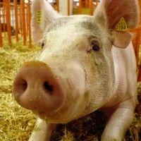 Породи свиней розводяться в республіці білорусь