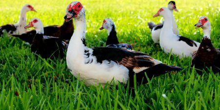 м`ясна, порода, качки, мускусна