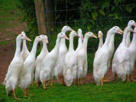 м`ясна, порода, качки, індійський