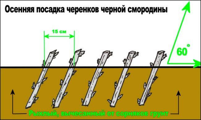 Posadka_smorodiny_osen`ju