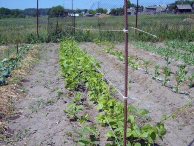 посадка квасолі, терміни посадки квасолі, як садити квасолю, на яку глибину садити квасолю