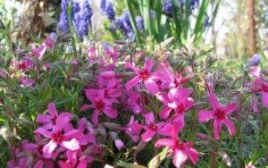 Посадка флоксів, догляд, розмноження і фото квітів
