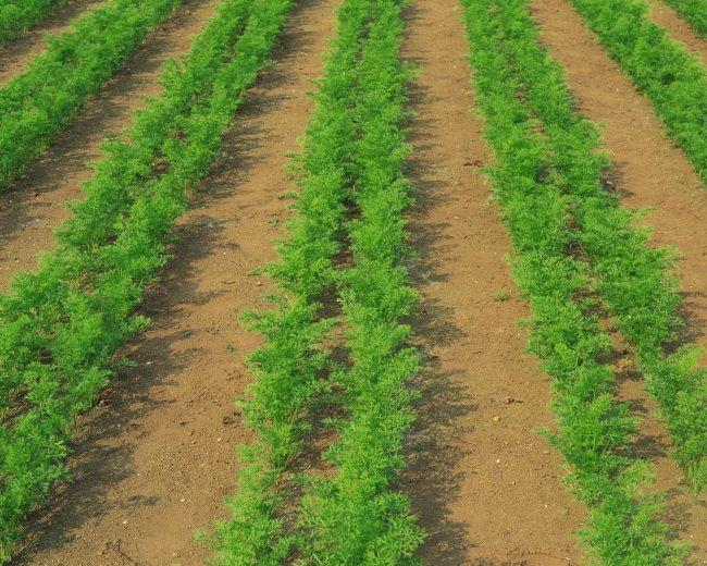 Посадка моркви навесні